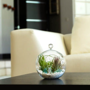 "Air Plant Terrarium Set with 3 Live Air Plant Tillandsias, 5.5"" Glass Globe, White Stones & Seafoam Glass Rock"