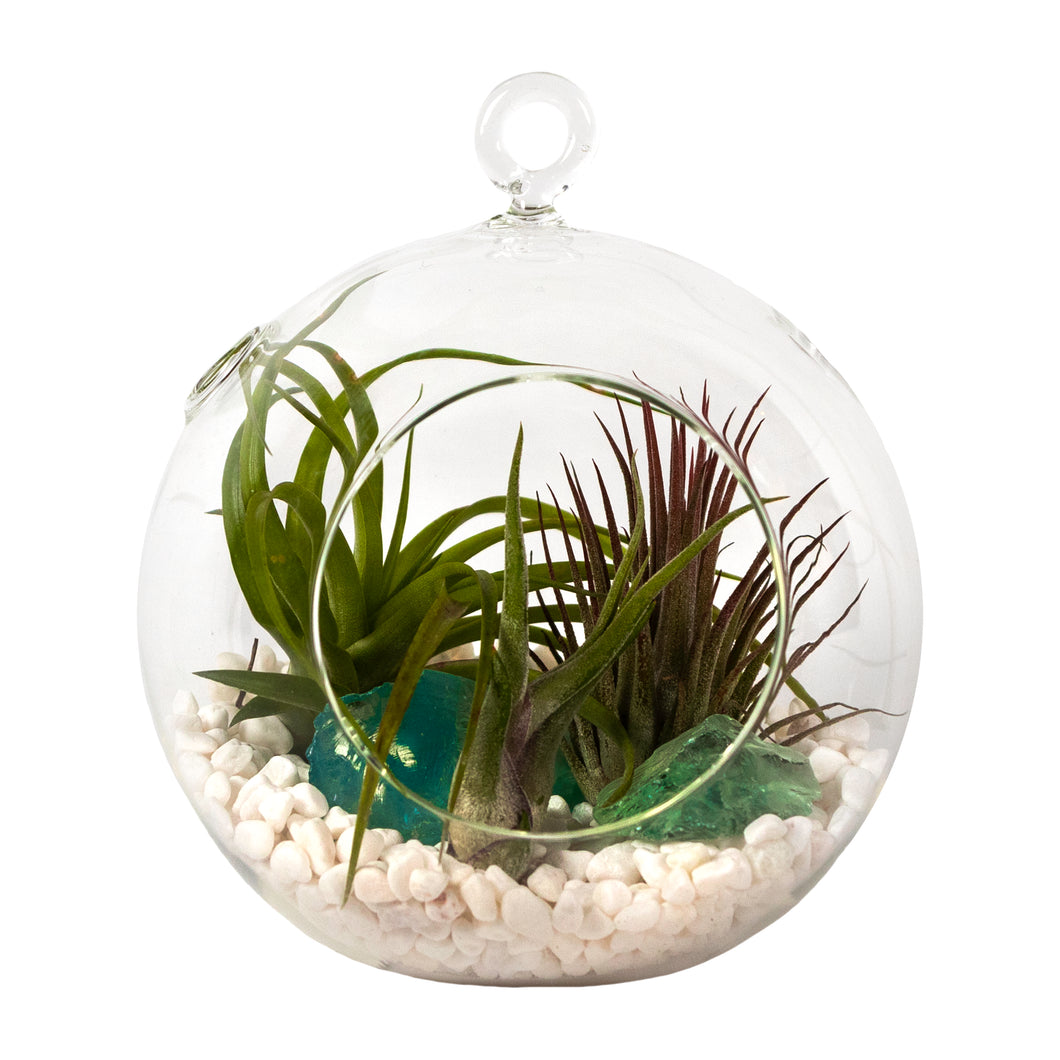 Air Plant Terrarium Set with 3 Live Air Plant Tillandsias, 5.5