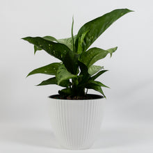 Load image into Gallery viewer, Tropic Snow Dieffenbachia