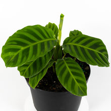 Load image into Gallery viewer, Zebrina Calathea