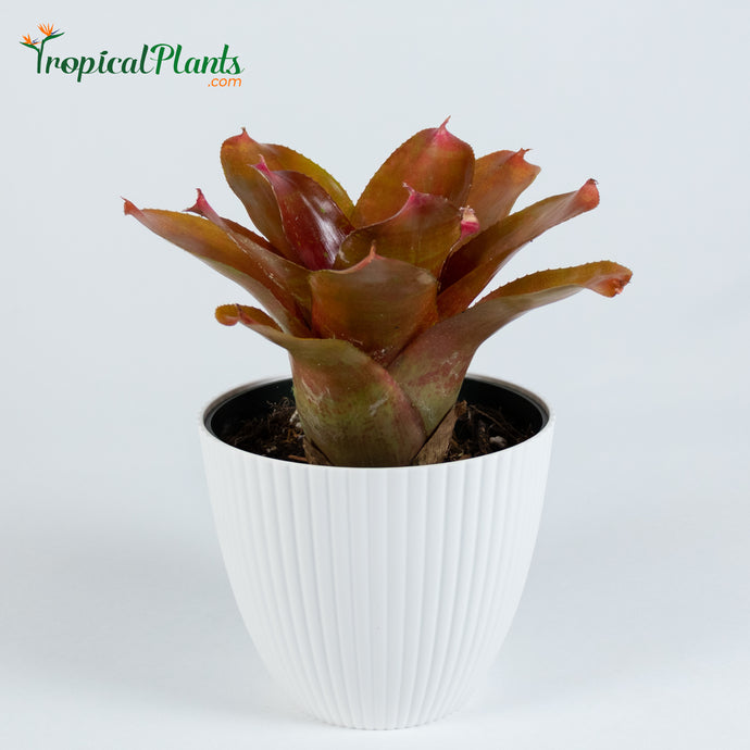Tropical Plant Orange Parfait Bromeliad Neoregelia in ribbed white contemporary pot