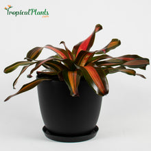 Load image into Gallery viewer, Tropical Plant Pimiento Bromeliad Neoregelia in black modern pot