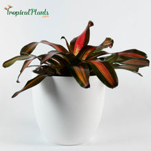 Load image into Gallery viewer, Tropical Plant Pimiento Bromeliad Neoregelia in white modern pot
