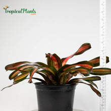 Load image into Gallery viewer, Tropical Plant Pimiento Bromeliad Neoregelia in garden pot with yardstick