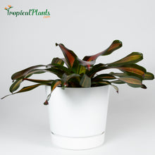 Load image into Gallery viewer, Tropical Plant Pimiento Bromeliad Neoregelia in ribbed white contemporary garden pot