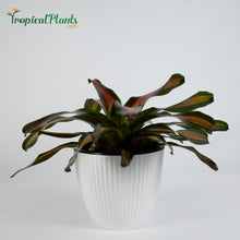 Load image into Gallery viewer, Tropical Plant Pimiento Bromeliad Neoregelia in ribbed white contemporary pot