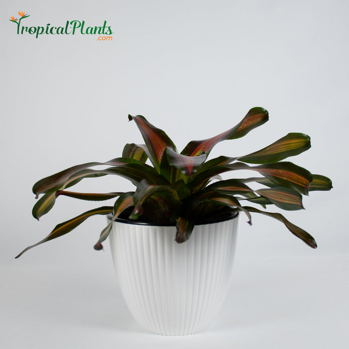 Tropical Plant Pimiento Bromeliad Neoregelia in ribbed white contemporary pot