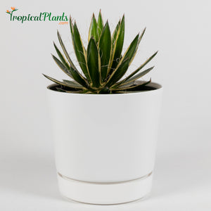 Queen of White Thread Agave (Century Plant)