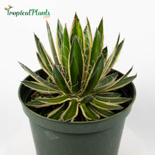 Load image into Gallery viewer, Tropical Plant Queen of White Thread Agave or Century Plant in growers pot
