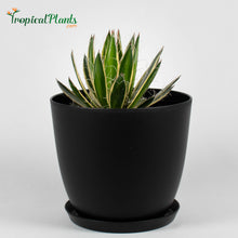 Load image into Gallery viewer, Tropical Plant Queen of White Thread Agave or Century Plant in black contemporary pot