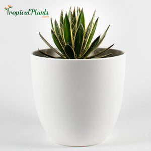 Tropical Plant Queen of White Thread Agave or Century Plant in white contemporary pot
