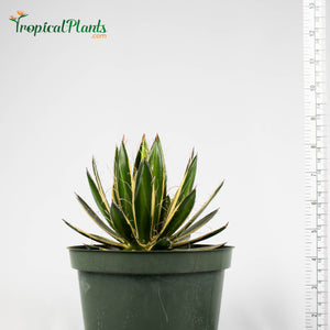 Tropical Plant Queen of White Thread Agave or Century Plant in pot with yardstick