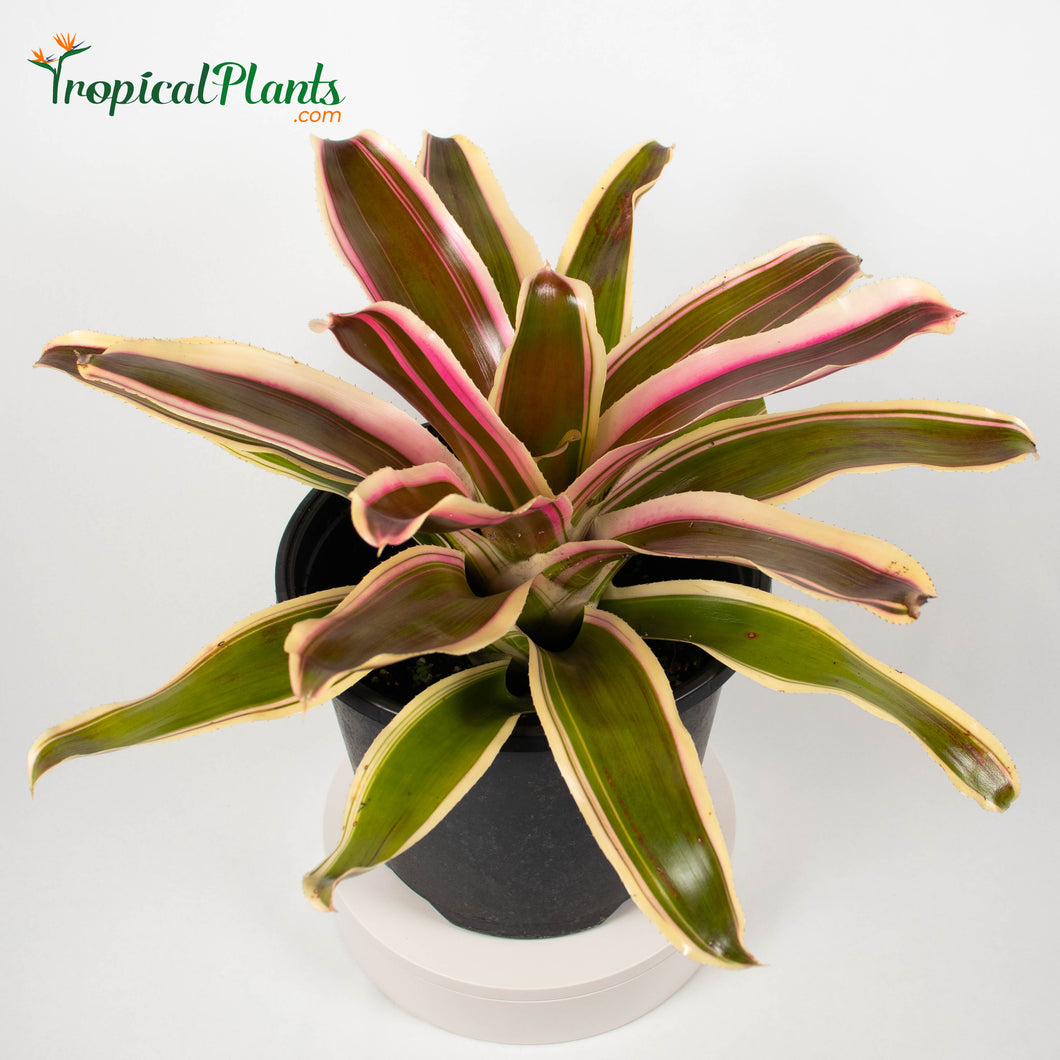 Tropical Plant Raphael Bromeliad Neoregelia in pot 45 degree zoom in