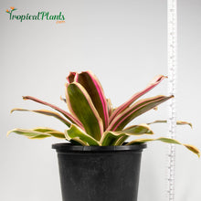 Load image into Gallery viewer, Tropical Plant Raphael Bromeliad Neoregelia in pot with yardstick