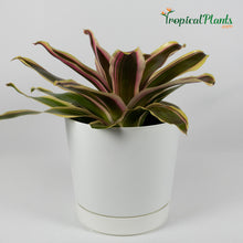 Load image into Gallery viewer, Tropical Plant Raphael Bromeliad Neoregelia in white contemporary pot