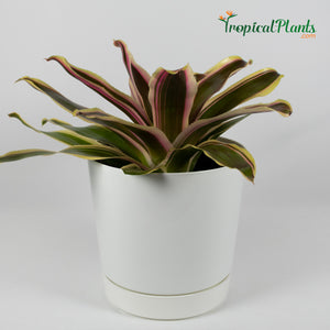 Tropical Plant Raphael Bromeliad Neoregelia in white contemporary pot