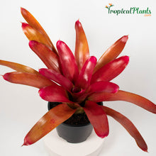 Load image into Gallery viewer, Tropical Plant Red Parfait Bromeliad Neoregelia with 45 degree angle in garden pot