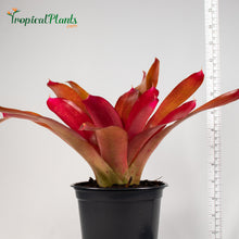 Load image into Gallery viewer, Tropical Plant Red Parfait Bromeliad Neoregelia with black pot and yardstick