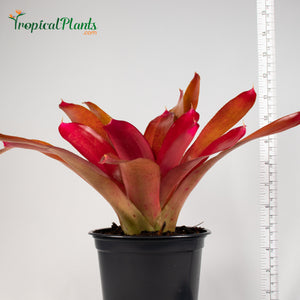 Tropical Plant Red Parfait Bromeliad Neoregelia with black pot and yardstick