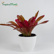 Load image into Gallery viewer, Tropical Plant Red Parfait Bromeliad Neoregelia in ribbed white pot