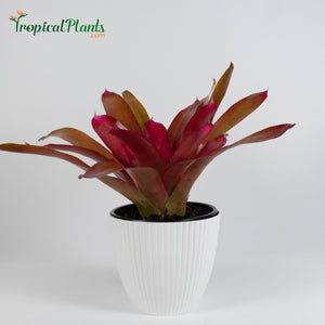 Tropical Plant Red Parfait Bromeliad Neoregelia in ribbed white pot