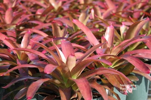 Tropical Plant Red Parfait Bromeliad Neoregelia in landscaping nursery