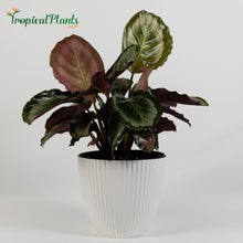 Load image into Gallery viewer, Medalion Calathea