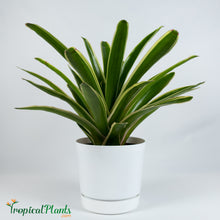 Load image into Gallery viewer, Sheba Bromeliad Neoregelia
