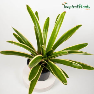 Tropical Plant Sheba Bromeliad Neoregelia in black contemporary pot 45 degree angle