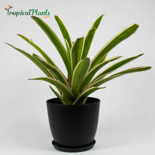 Load image into Gallery viewer, Tropical Plant Sheba Bromeliad Neoregelia in black contemporary pot