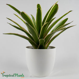 Tropical Plant Sheba Bromeliad Neoregelia in white contemporary pot