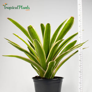 Tropical Plant Sheba Bromeliad Neoregelia in black contemporary pot with yardstick
