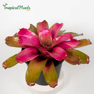 Tropical Plant Shocking Pink Bromeliad Neoregelia in pot zoom in at 45 degree level