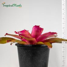 Load image into Gallery viewer, Tropical Plant Shocking Pink Bromeliad Neoregelia in pot zoom in with yardstick