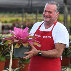 Tropical Plant Shocking Pink Bromeliad Neoregelia in pot with male model