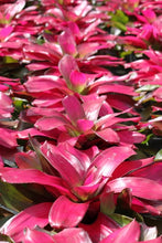 Load image into Gallery viewer, Tropical Plant Shocking Pink Bromeliad Neoregelia in garden center zoom in