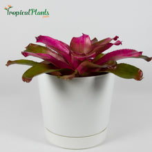 Load image into Gallery viewer, Shocking Pink Bromeliad Neoregelia