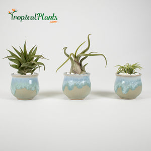 Tropical Plant Tillandsia Air Plant Blue Gray Pots Stone Set