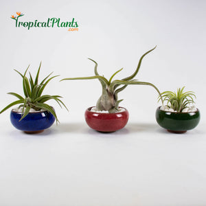Tropical Plant Tillandsia Air Plant  Blue, Red and Green Round Ceramic Pot Set 1