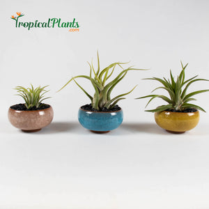 Tropical Plants Tillandsia Air Plant Champagne Light Blue Yellow ceramic pot set