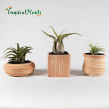 Load image into Gallery viewer, Air Plant Tillandsia Trio - Weathered Sandstone Designer Ceramic Pot Set