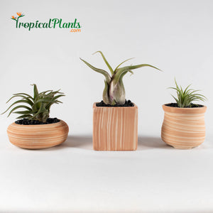 Air Plant Tillandsia Trio - Weathered Sandstone Designer Ceramic Pot Set