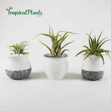 Load image into Gallery viewer, Air Plant Tillandsia Trio - White and Gray Trim Ceramic Pot Set