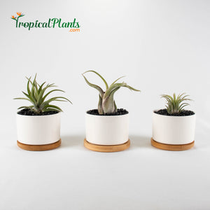 Tropical Plants Tillandsia Air Plant White Round Ceramic Pots