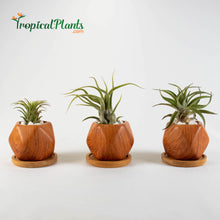 Load image into Gallery viewer, Tropical Plants Tillandsia Air Plant Wood Geometric Pots