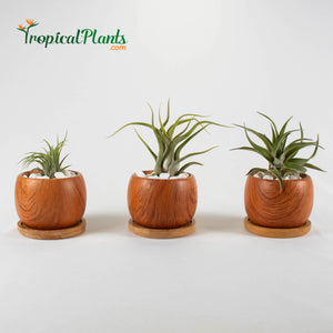 Tropical Plants Tillandsia Airplant Wood Round Pots