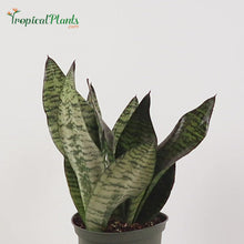 Load and play video in Gallery viewer, Robusta Snake Plant (Sansevieria Trifasciata)