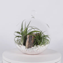 "Load and play video in Gallery viewer, Air Plant Terrarium Set with 3 Live Air Plant Tillandsias, 5.5"" Glass Globe, White Stones & Hercules Mini-Boulder"