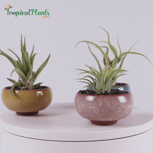 Load and play video in Gallery viewer, Tropical Plants Tillandsia Air Plant Champagne Light Blue Yellow ceramic pot set Video