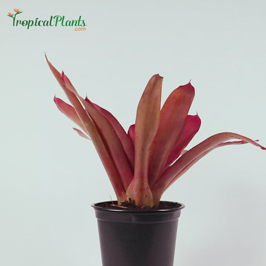 Tropical Plant Red Parfait Bromeliad Neoregelia with black pot Video straight on view